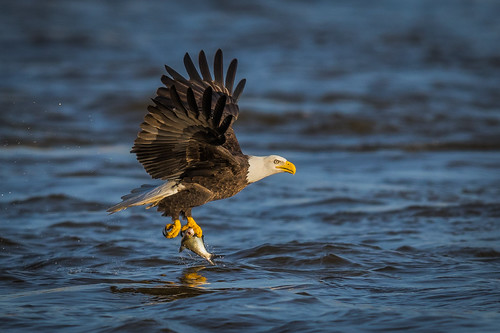 americanbaldeagle grabshot water baldeagle wildlife raptor river nature fish birdsofprey majestic susquehanna bird conowingo birdsinflight eagle darlington maryland unitedstates us nikon d500