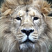Asiatic Lion by threejumps