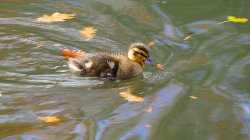 November ducklings, Priory Park, Great Malvern