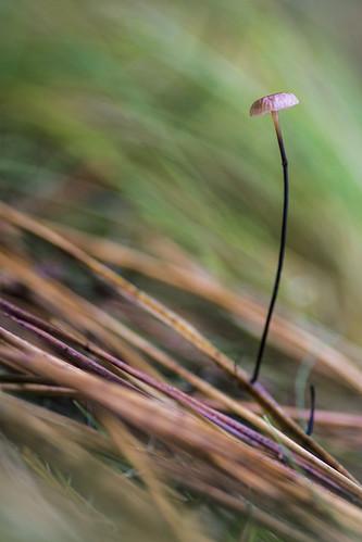 mushroom on pine leaf