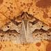 Mottled Umber (Erannis defolaria) ♂ open wing.