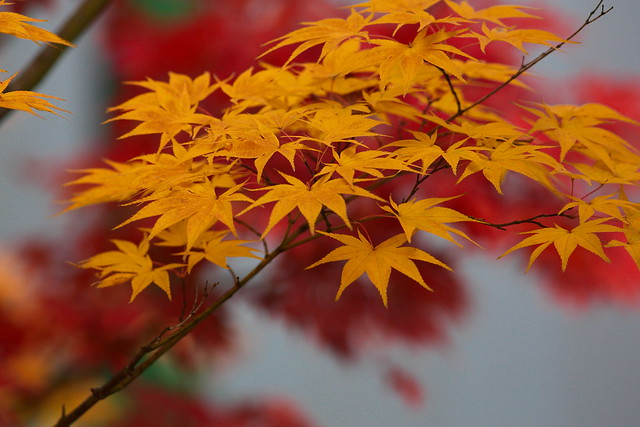 MAPLE TREE, Canon EOS 5D MARK III, Canon EF 400mm f/5.6L