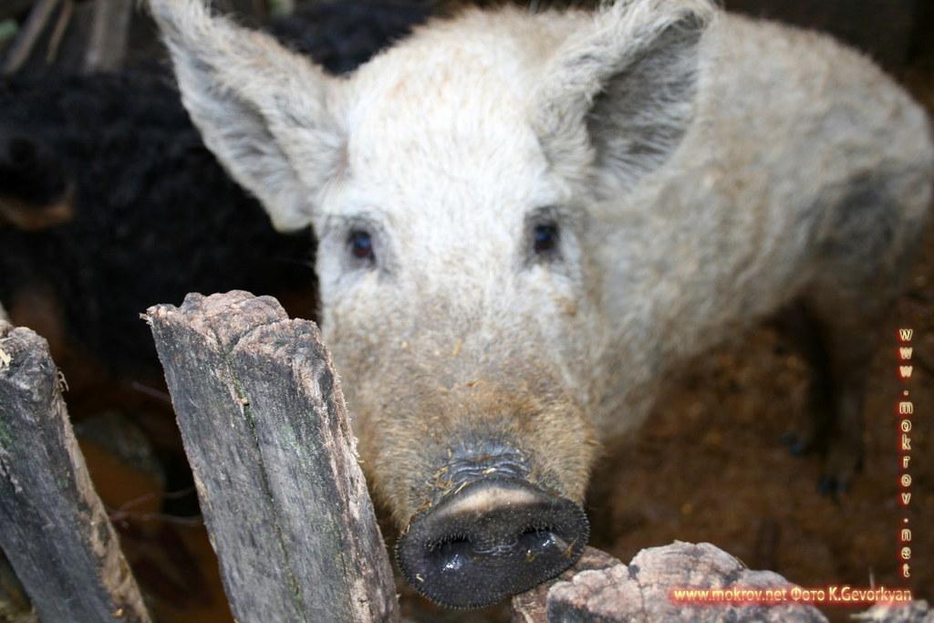 Конная Ферма Пуста. Стада овец и табуны лошадей — Венгрия фотографии сделанные как днем, так и вечером