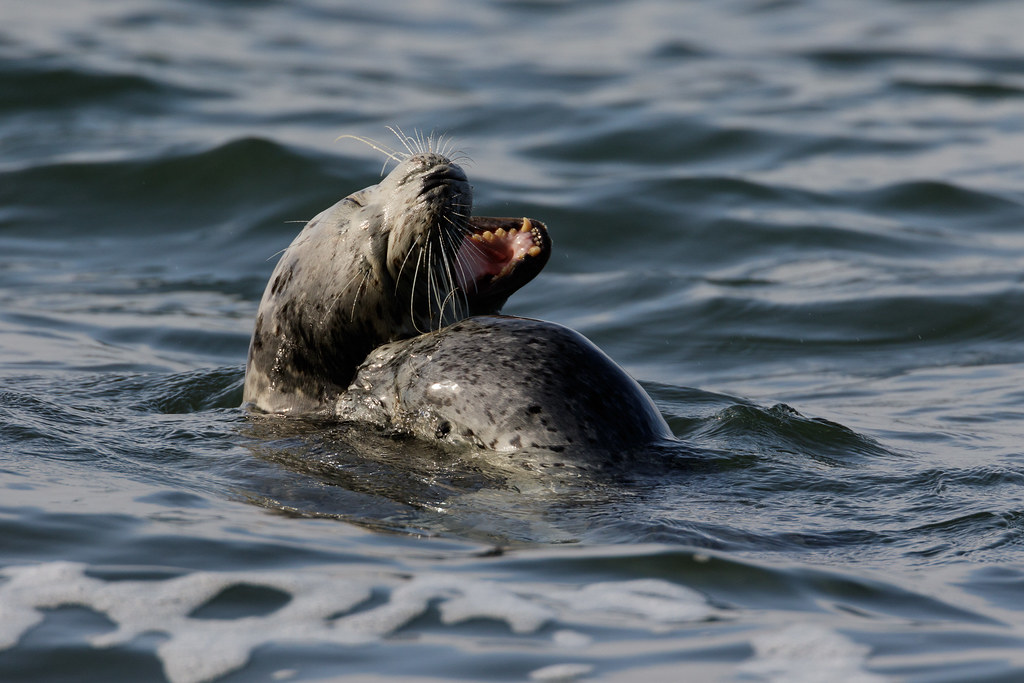 A harbor seal playfully bites another as they frolic in the ocean at Yaquina Head Outstanding Natural Area