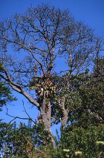 Flowering Bromelliads on walk to Poas volcano