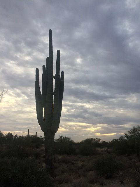 Lost Dutchman  Saguaro Cactus