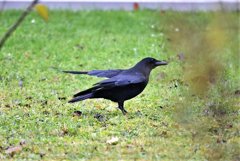 Crow 12.11 (4)