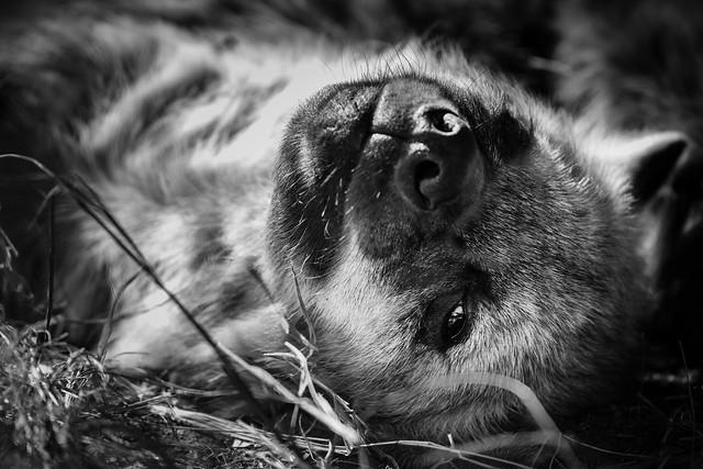 Relaxing Hyena