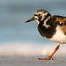 Ruddy Turnstone, Lee County, FL