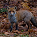 Red Fox (Vulpes vulpes) - Stoke-on-Trent Staffordshire, UK.