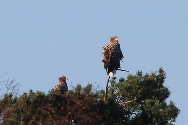 Eagle couple in the top of a pinetree - IMG_9816a