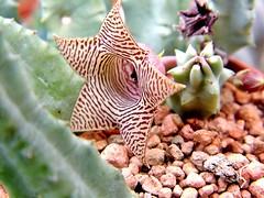 Huernia flower