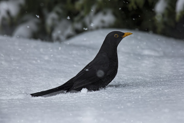 Blackbird In The Snow Dec 2017