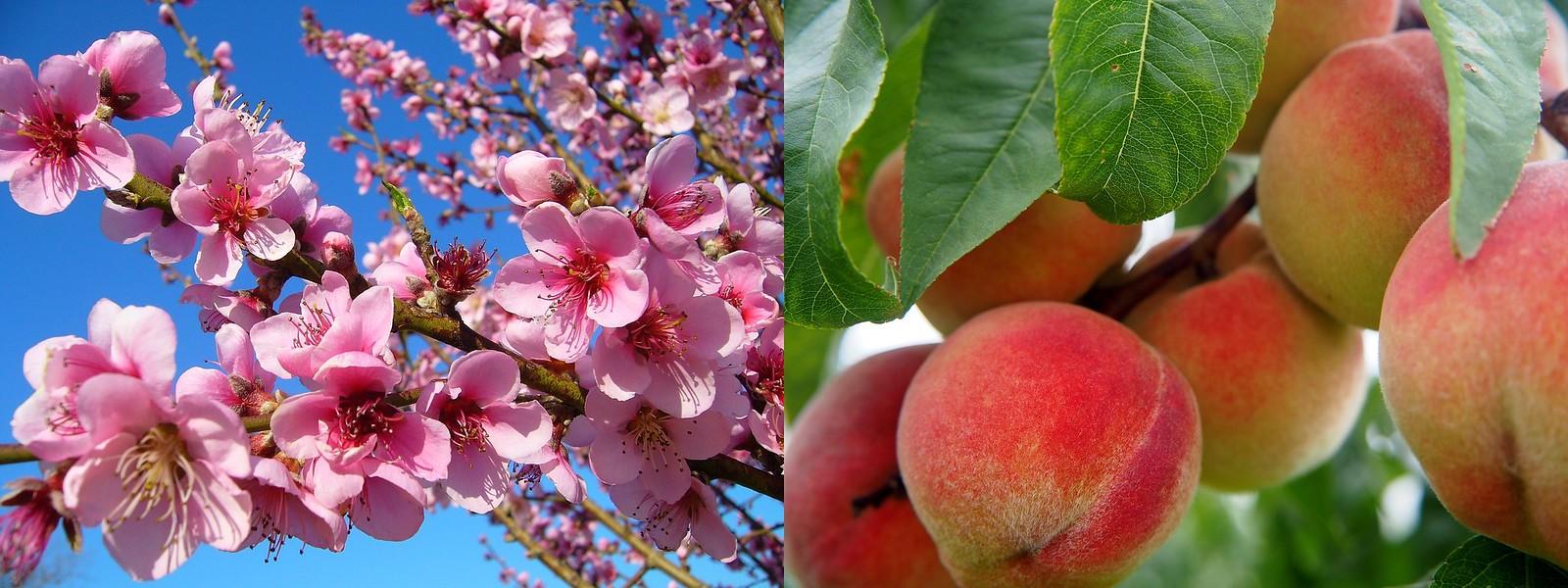 복숭아꽃과 열매