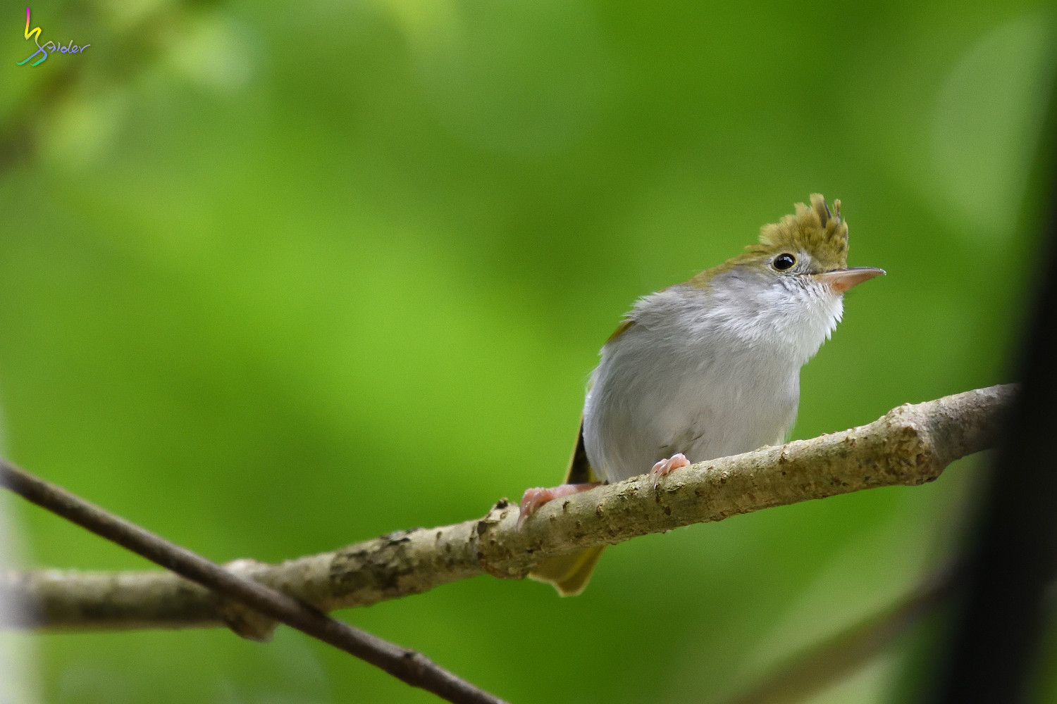 White-bellied_Yuhina_3589