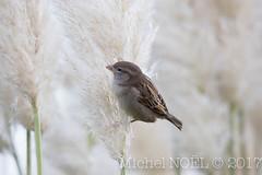 Moineau domestique Passer domesticus - House Sparrow : Michel NOËL © 2017-4236.jpg