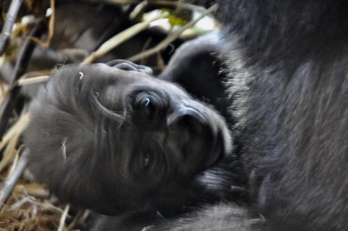 ニシゴリラ zoo animal westernlowlandgorilla gorilla 上野動物園 上野 ニシローランドゴリラ westerngorilla 動物園 恩賜上野動物園 ueno ゴリラ uenozoo