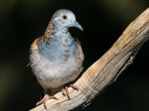 Bar-shouldered Dove (Geopelia humeralis)