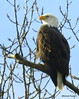 Mature Bald Eagle_N9843 by Henryr10