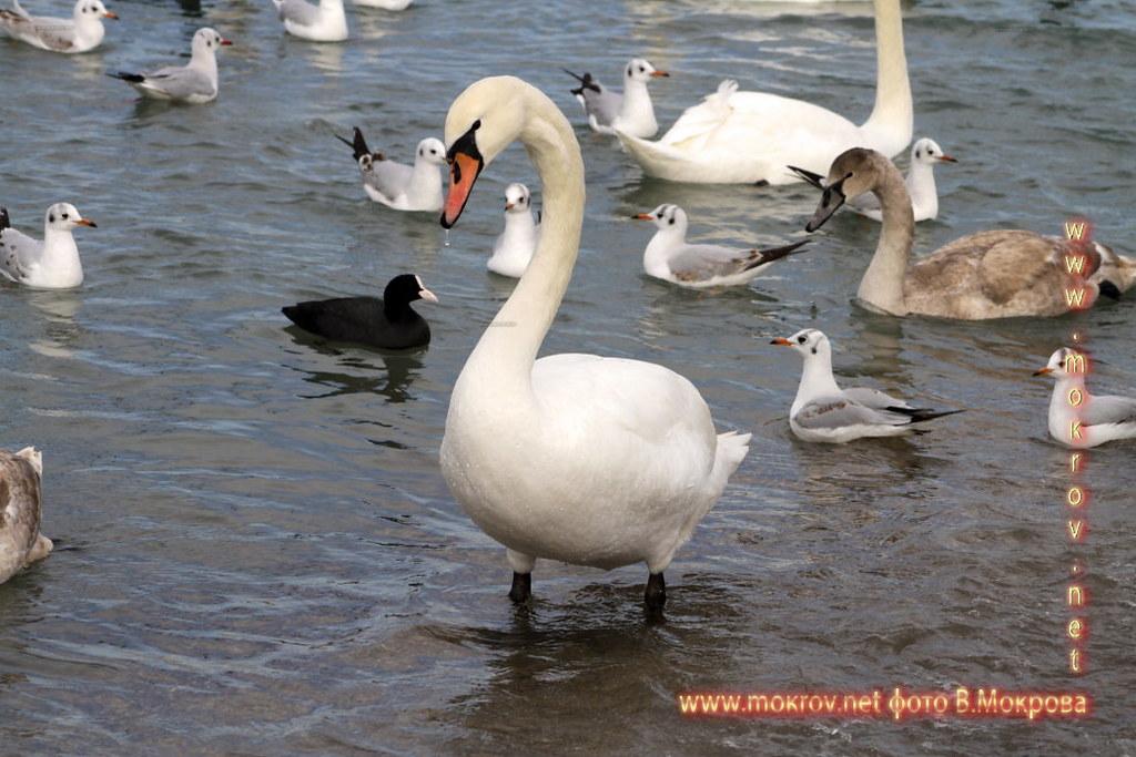 Лебеди в Анапе.