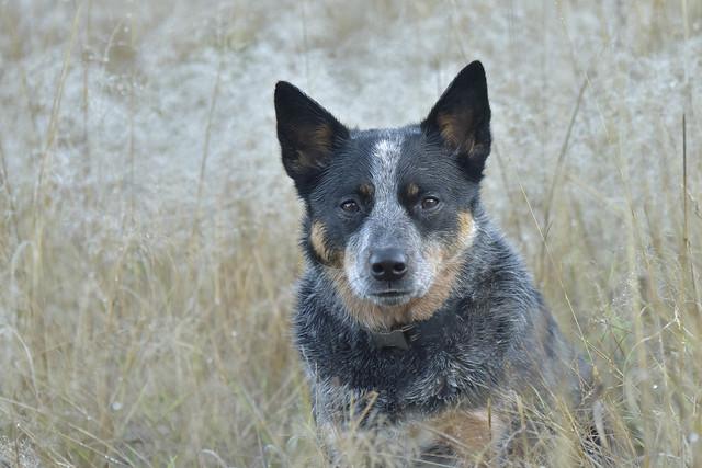 Blue Heeler Dog Breed Informations