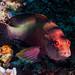 Yellowfin Hind - Cephalopholis hemistiktos