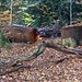 Fallen Tree_Kenilworth Road_Earlsdon_Coventry_Nov17