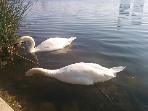 Two swans (5) #toronto #highpark #grenadierpond #birds #swans #white #latergram