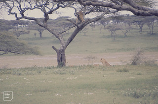 One male lion on topof another up tree. Nduto
