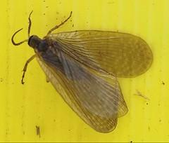 Merope tuber (Earwig Scorpionfly or Forcepfly) Mecoptera: Meropeidae