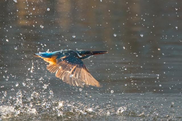 20171124-kingfisher-DSC_8529