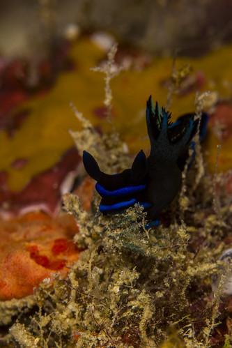 dorid fiji fijianislands southpacificocean tambjamorosa underwater diverdoug gloomytambja marine nudibranch ocean reef sea seaslug underwaterphotography
