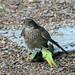 IMG_3439 Sparrowhawk & Parakeet
