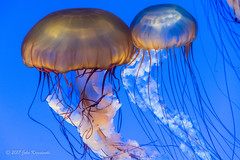 Jellyfish - Living Art