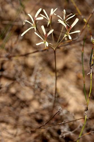 Pelargonium pallidoflavum in habitat