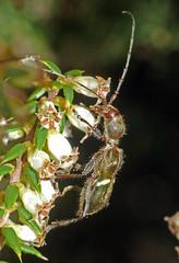 Longhorn beetle Pseudohalme walkeri