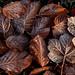 Frozen Leaves by jackharrybill