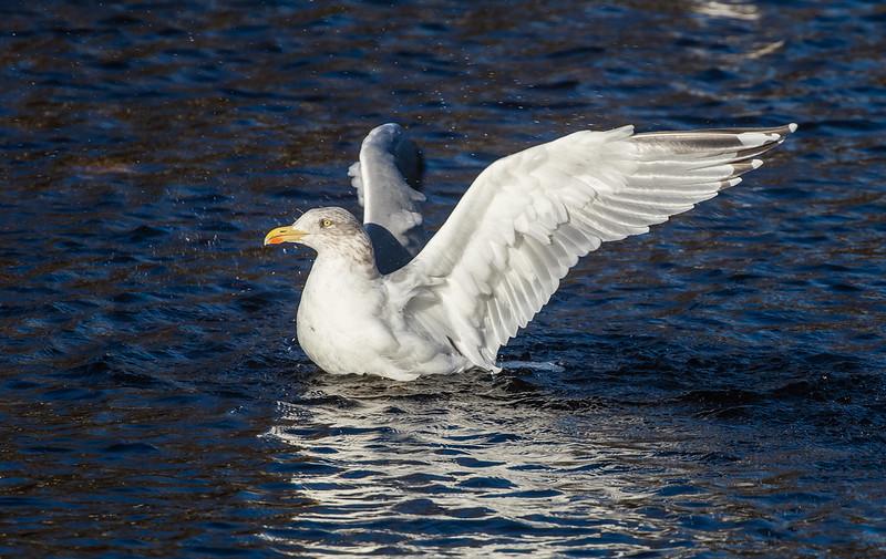 adult herring gull 139a_2407