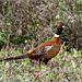 A rather smart Pheasant M (Phasianus colchicus)