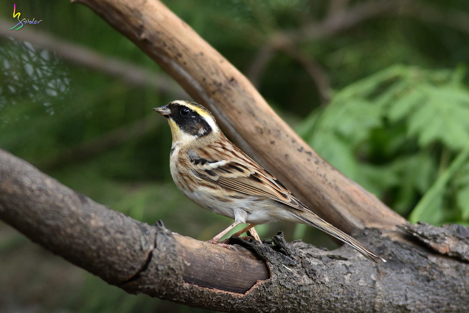 Yellow-throated_Bunting_4537