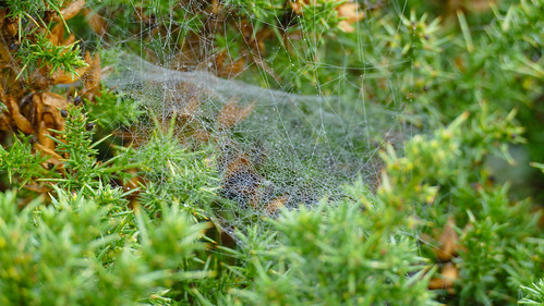 Cobweb on gorse with water drops
