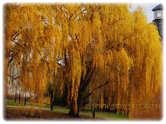 Mesmerising foliage of Salix babylonica (Weeping Willow, Peking Willow, Chinese Weeping Willow,Babylon Weeping Willow, Babylon Willow) that turns to golden-yellow in autumn, 2 Dec 2017