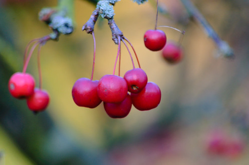 Tiny crab apples, Compton Rough
