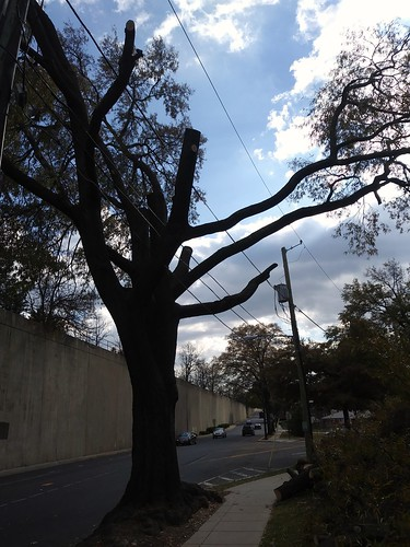 This once somewhat grand tree has been hacked by the local electric utility