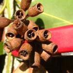 Eucalyptus robusta seed capsules