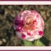 George Burns Rose  by KaCey97078