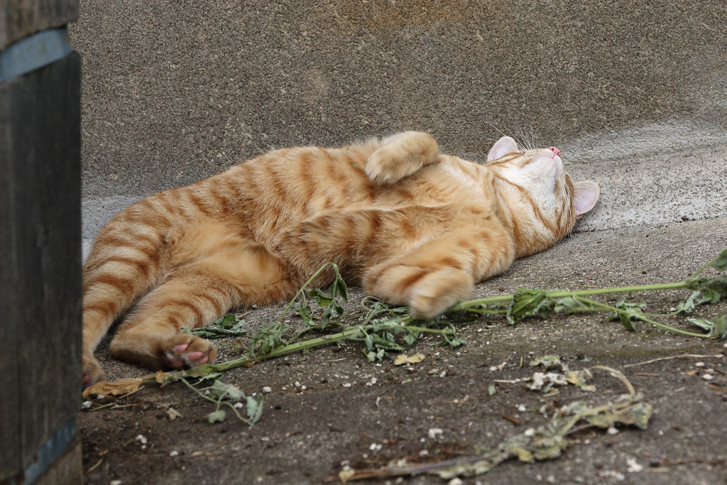Our cat Sam playing in catnip