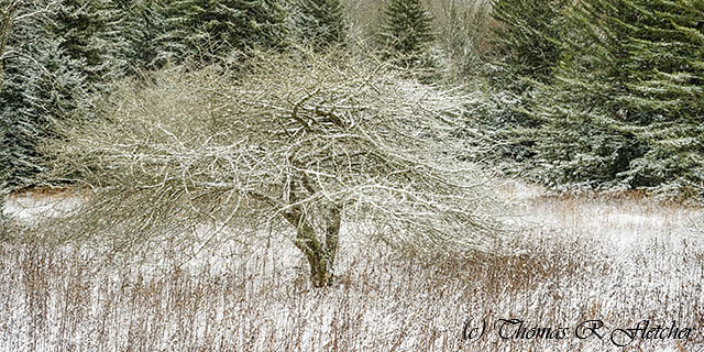 Twisted Dotted Thorn Tree