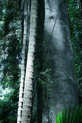 Giant Pepper Vine (Piper hederaceum var. hederaceum)