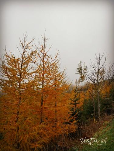 larch-trees